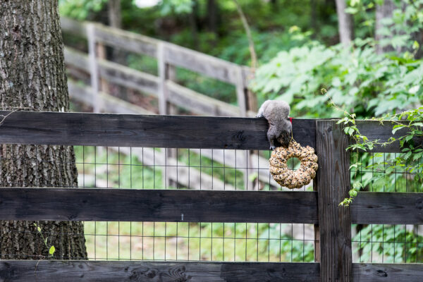 Squirrel with bird seed wreath